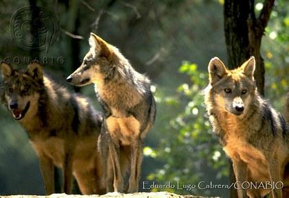 San Juan de A. Canis lupus subsp. baileyi.t517b0cfa.m600.w.0ConabioCornerCopy.jpg.x2d859634.jpg