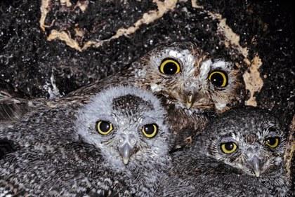 Elf Owl b13-37-137_V.jpg