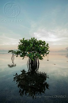 RF01 Rhizophora mangle.t58cadc1e.m600.w.0ConabioCornerCopy.jpg.xuL97NeU1PUB-hOl3qfXUX0FUZL4Ss84FGugWYVzp1Zw.jpg
