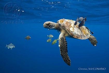 CV01 Chelonia mydas (2).jpg