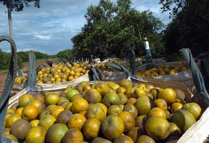 TicoFrut-produce-millones-naranjas-toneladas_ELFIMA20140730_0009_16.jpg