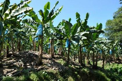 full-banana-plantation-limon-costa-rica.jpg