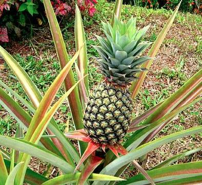 Piña 2.jpg