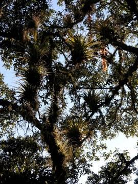Bosque y bromelias en Xiacuí.jpg