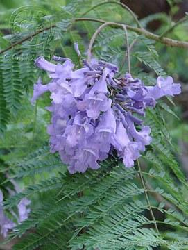 CGL1237 Jacaranda mimosifolia.jpg