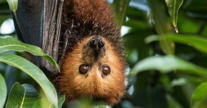 salva la selva flughund-mauritius  (© Jacques de Speville).jpg