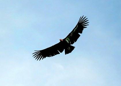 Condor de California.jpg
