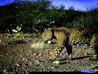 Jaguar en el dubarla RJN.jpg
