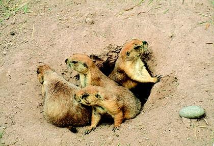 Perritos de las praderas.jpg
