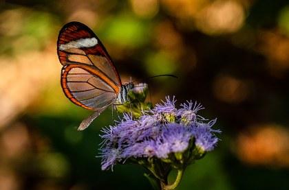 Mariposa alas de cristal- Chimalapas.jpg